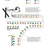 schéma structure de l'ADN